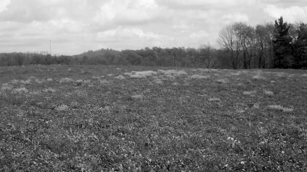 Mustard Field 3