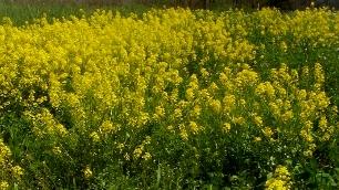 Mustard Field 4